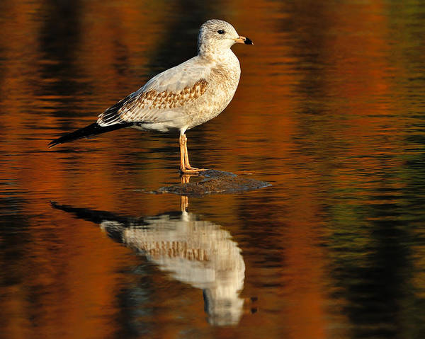 Ring-billed Gull Art Print featuring the photograph Youthful Reflections by Tony Beck
