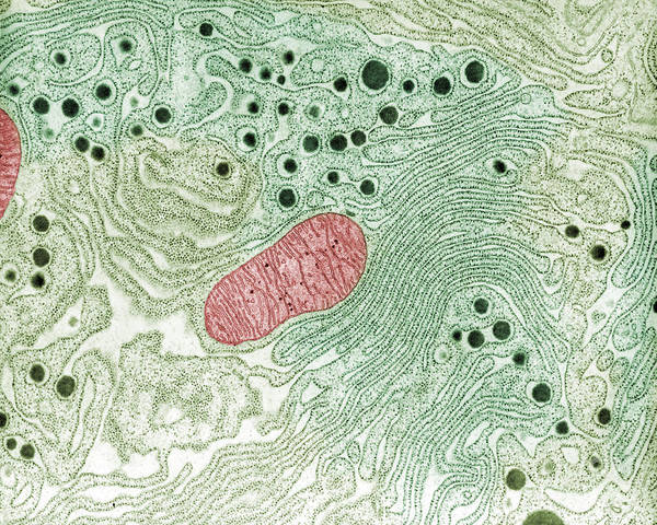 Tem Art Print featuring the photograph Endoplasmic Reticulum by Omikron