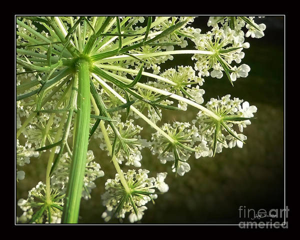 Queen Ann's Lace Art Print featuring the photograph Queen Ann's Lace by Heinz G Mielke