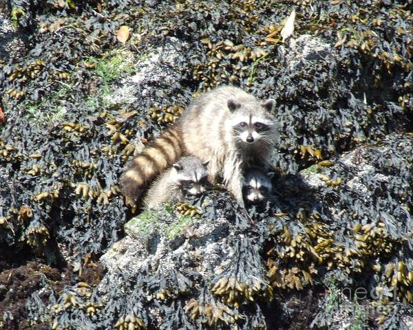 Racoon Art Print featuring the photograph A Mothers Protection by Shannon Ireland