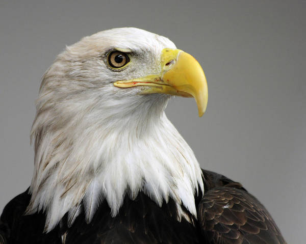 American Bald Eagle Art Print featuring the photograph Bald Eagle Portrait by Theo OConnor