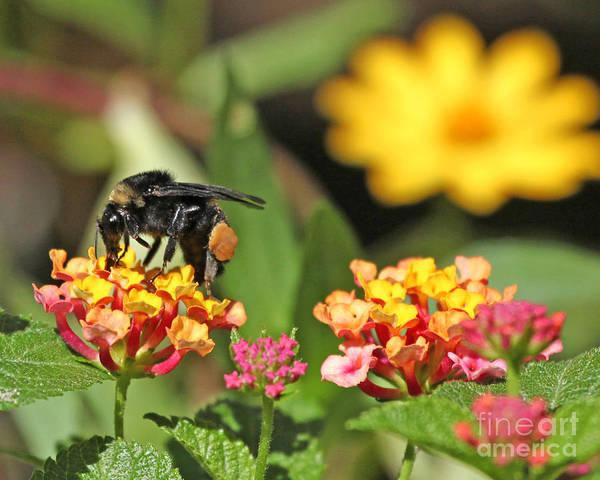 Bee Photograph Art Print featuring the photograph Bee On Lantana Flower by Luana K Perez