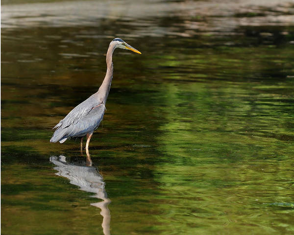 Blue Heron Art Print featuring the photograph blue Heron fishing by Greg Horler