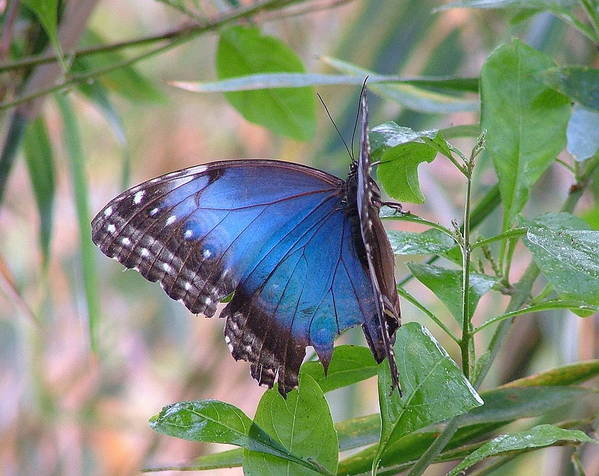Blue Morpho Art Print featuring the photograph Blue Morpho by Don Downer