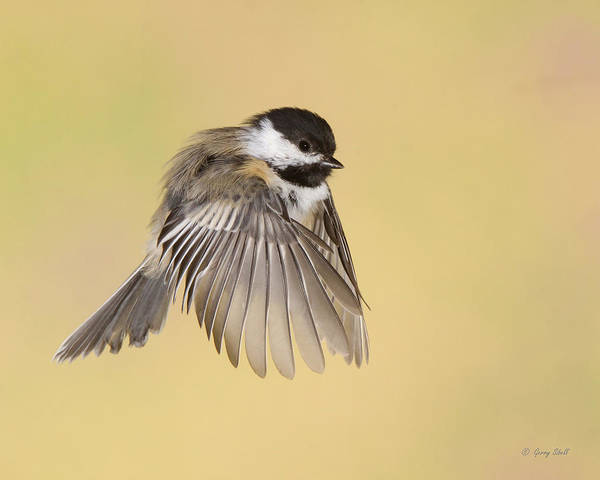 Nature Art Print featuring the photograph Cappy Jr by Gerry Sibell