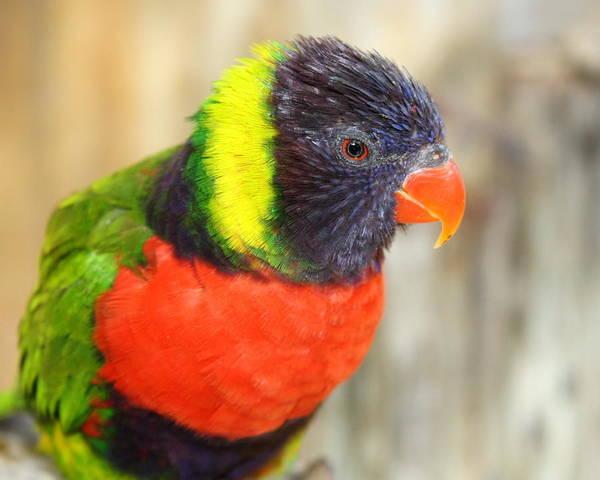 Lorikeet Art Print featuring the photograph Colorful Lorikeet Parrot by Terry Fleckney