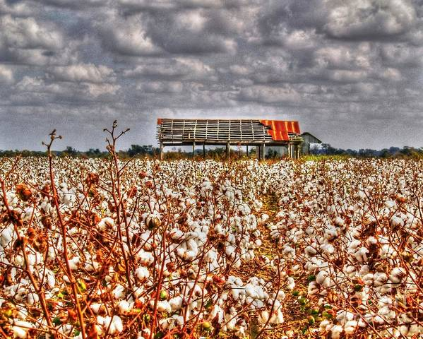 Cotton Art Print featuring the photograph Cotton Field by Kevin Pugh