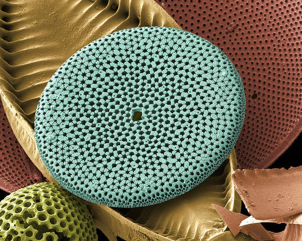 Calcareous Phytoplankton Art Print featuring the photograph Diatoms, Sem by Steve Gschmeissner