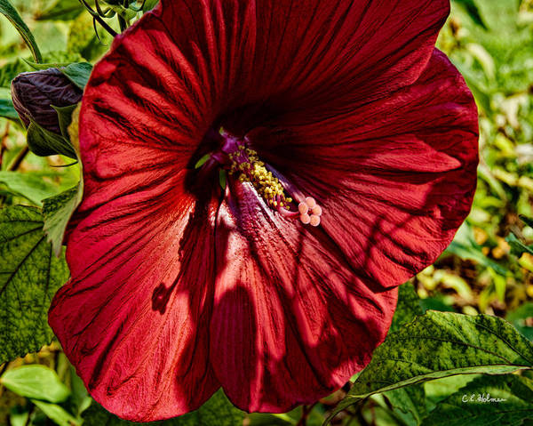 Large Art Print featuring the photograph Dinner Plate Hibiscus by Christopher Holmes