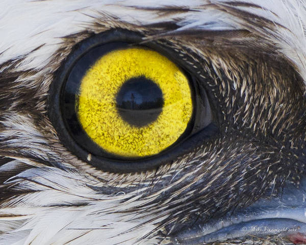 Osprey Art Print featuring the photograph Golden Eye by Mike Fitzgerald