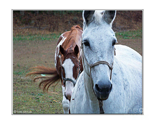 Horses Art Print featuring the photograph Greeting by Tammy Ishmael - Eizman