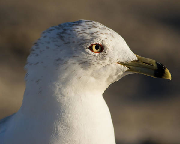 Seagull Art Print featuring the photograph Henry by Kittysolo Photography