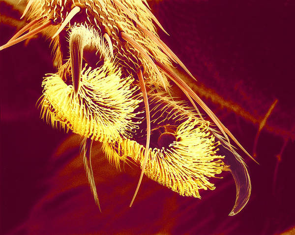 Hover Fly Art Print featuring the photograph Hover Fly Foot, Sem by Susumu Nishinaga