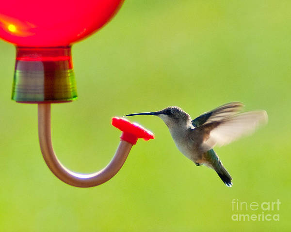Bird Art Print featuring the photograph Hummingbird Drinking by Stephen Whalen