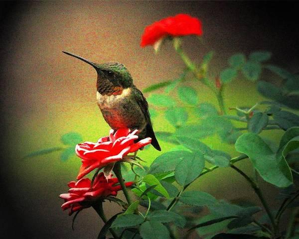 Hummingbird Art Print featuring the digital art Hummingbird On The Rose by Carrie OBrien Sibley