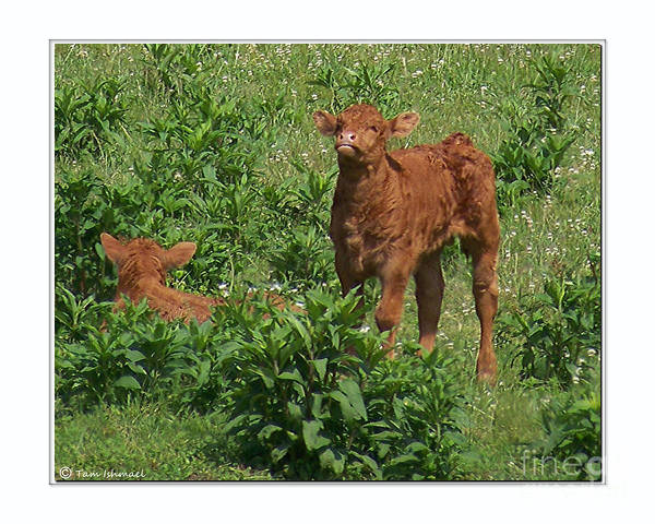 Cows Art Print featuring the photograph In The Field by Tammy Ishmael - Eizman