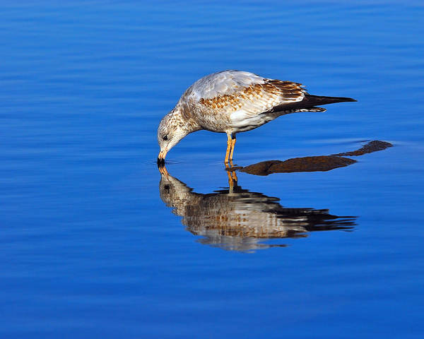 Ring-billed Gull Art Print featuring the photograph Juvenile Ring-billed Gull by Tony Beck