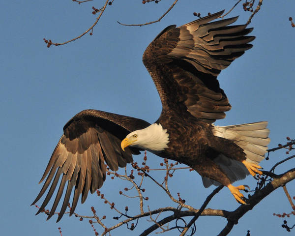 Eagles Art Print featuring the photograph Lift Off by Jason Loving