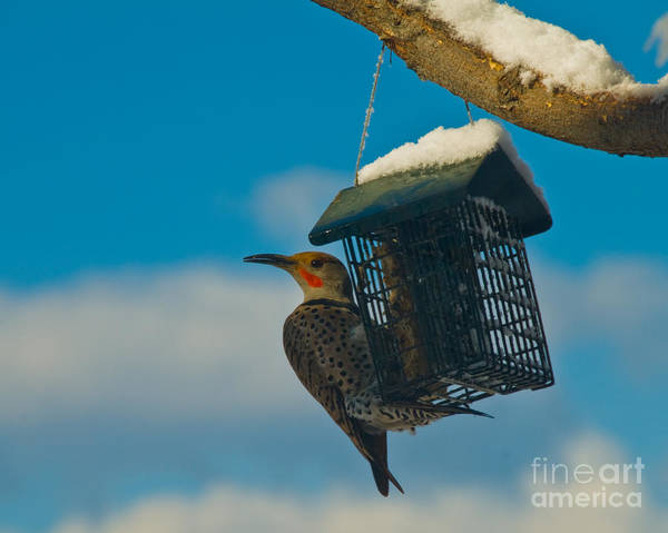 Fort Collins Print featuring the photograph Northern Flicker by Harry Strharsky