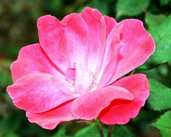 Roses Art Print featuring the photograph Pink Rose II by Monica Wheelus