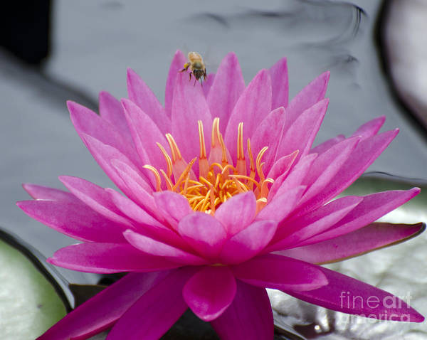 Flower Art Print featuring the photograph Pink Water Lily Rose Arey With Bee by Terri Winkler