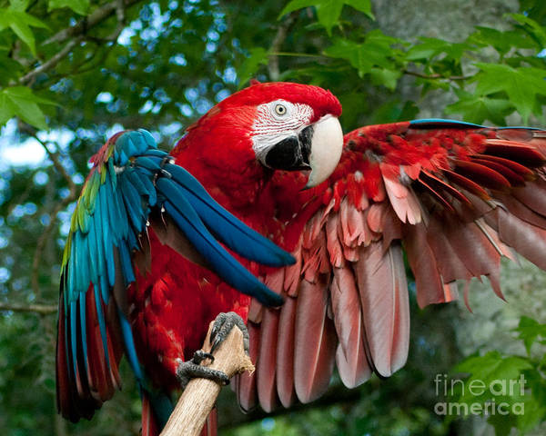 Red Art Print featuring the photograph Red Macaw by Stephen Whalen