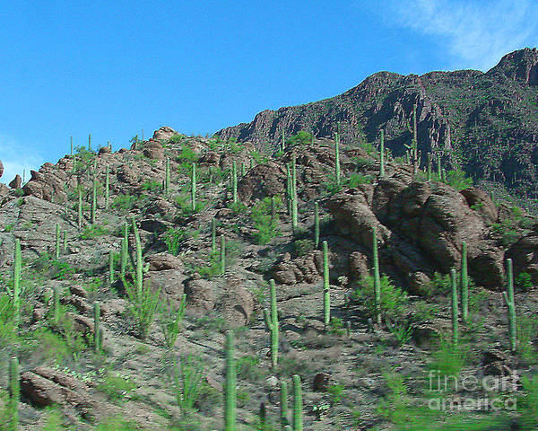 Arizona Art Print featuring the photograph Saguara National Forest Protected Cactus by Merton Allen