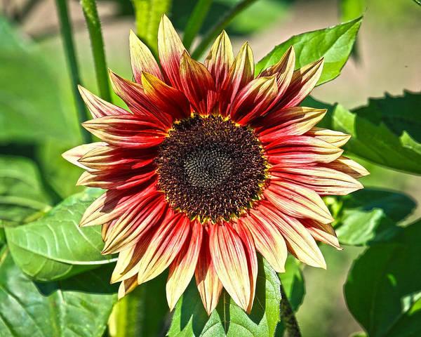 Sunflower Art Print featuring the photograph Sunflower by Steve McKinzie