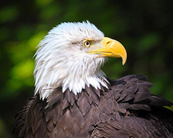Bald Eagle Art Print featuring the photograph The Bald Eagle by Steve McKinzie
