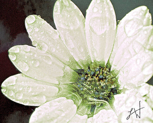 Large White Flower Close Up Print featuring the digital art Wet Petals by Artist and Photographer Laura Wrede