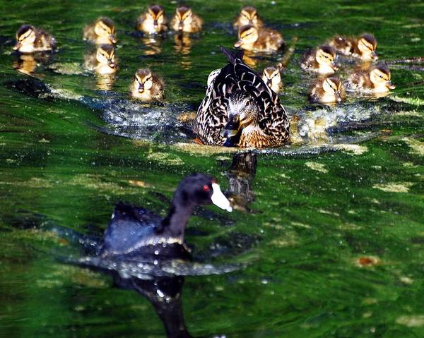 Duck Art Print featuring the photograph What Do You Want by Don Mann