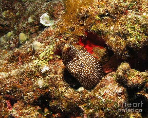 Underwater Art Print featuring the photograph Whitemouth Moray - Hawaii by William Miller