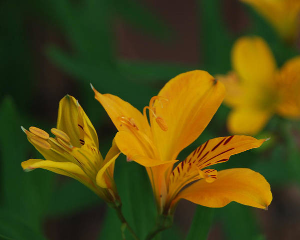 Lily Art Print featuring the photograph Wild Lilies by Carol Eliassen