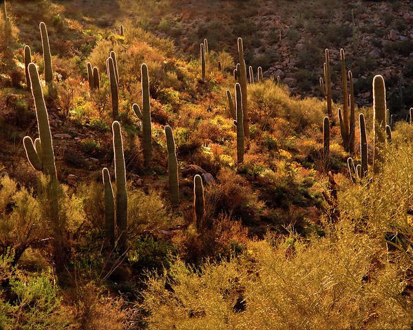 Afternoon Art Print featuring the photograph Rimlit Saguaro Forest by Crystal Garner