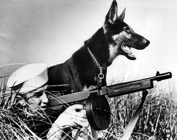 1940s Candid Art Print featuring the photograph A Trained German Shepherd Sitting Watch by Everett