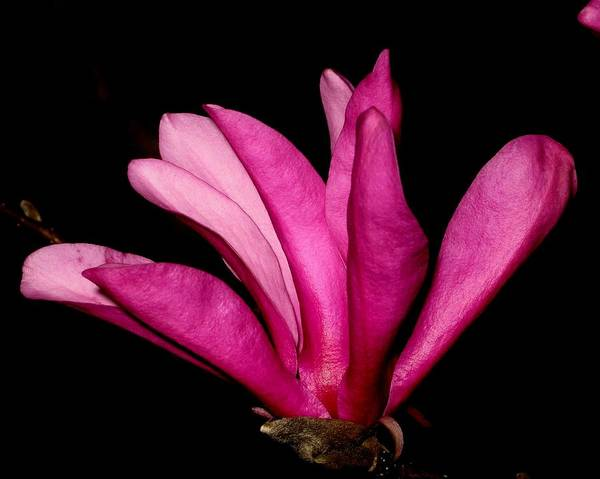 Pink Art Print featuring the photograph Adulation by Betnoy Smith