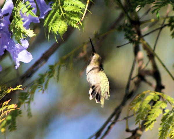 Hummingbird Art Print featuring the photograph All The Way Up There by Ellen Lerner ODonnell