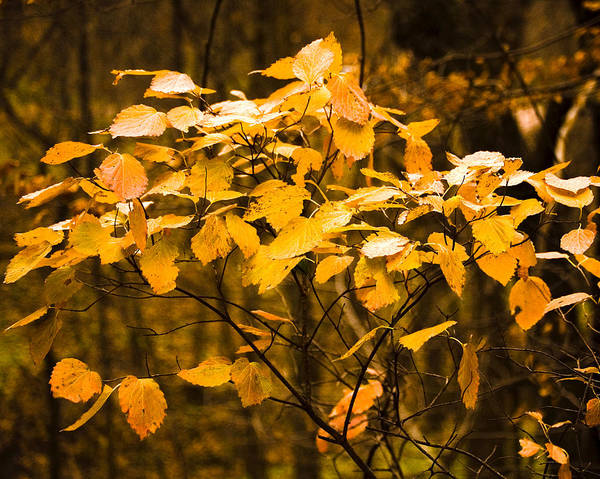 Fall Art Print featuring the photograph Autumn Leaves by Ralph Steinhauer