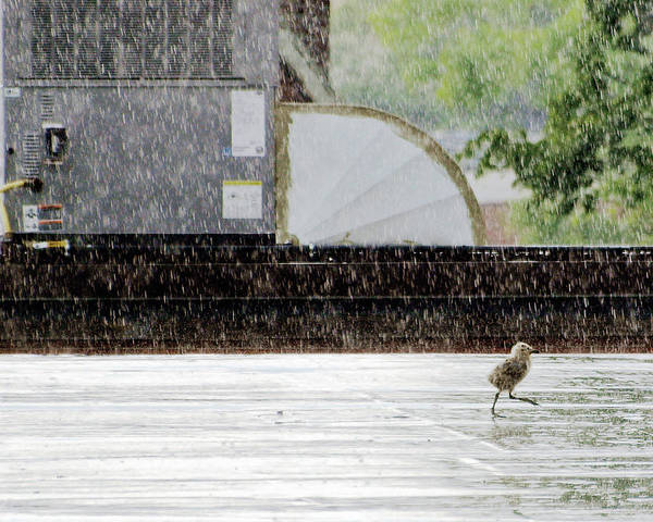 Animal Art Print featuring the photograph Baby Seagull Running In The Rain by Bob Orsillo
