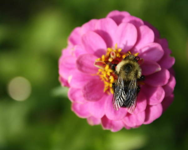 Bee Art Print featuring the photograph Before The Frost by Annie Babineau