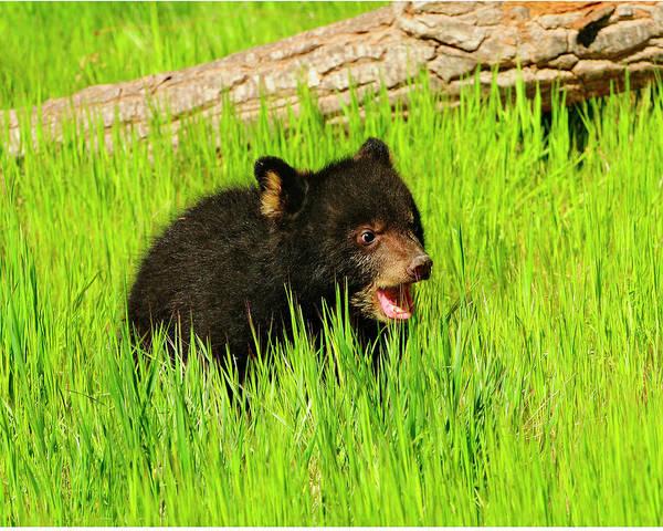 Bear Art Print featuring the photograph Black Bear Cub by Dennis Hammer