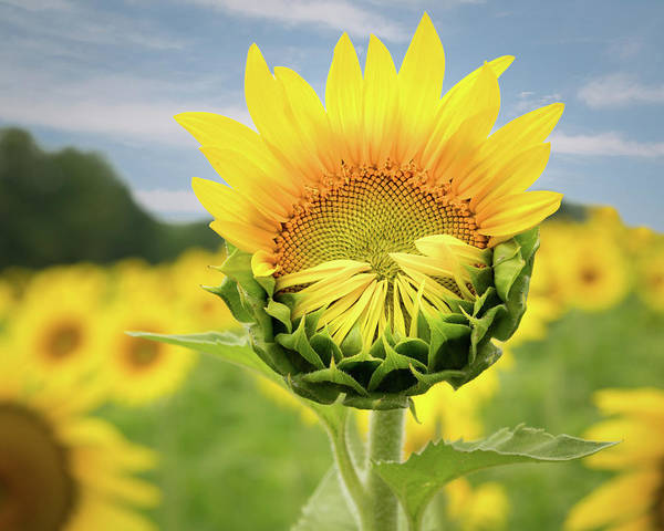 Sunflower Art Print featuring the photograph Blooming Sunflower by Natalie Rotman Cote