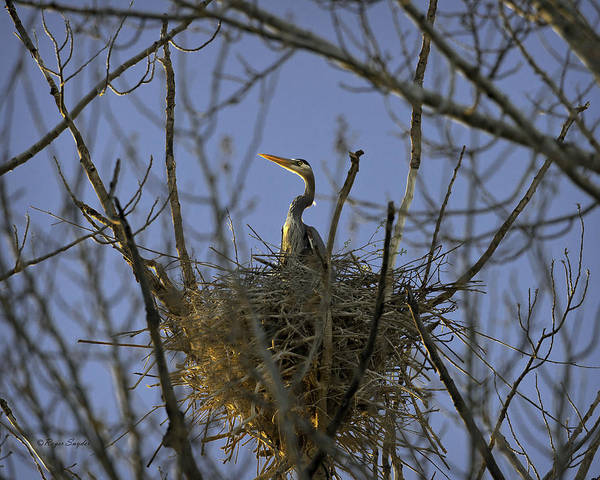 Beautiful Photos Art Print featuring the photograph Blue Heron 30 by Roger Snyder