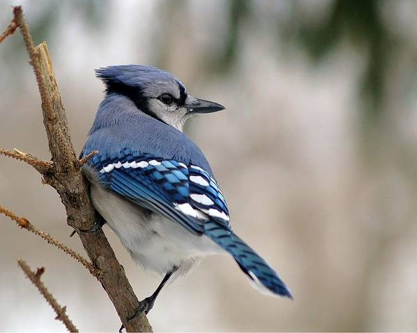 Blue Jay Art Print featuring the photograph Blue Jay by Gaby Swanson