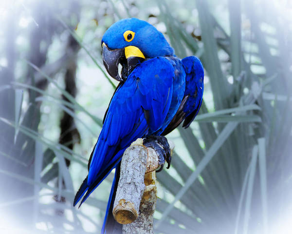 Brevard Zoo Art Print featuring the photograph Blue Parrot by Roger Wedegis