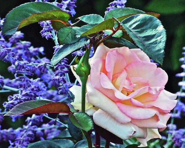 Rose Art Print featuring the photograph Blushing Rose by Janis Nussbaum Senungetuk