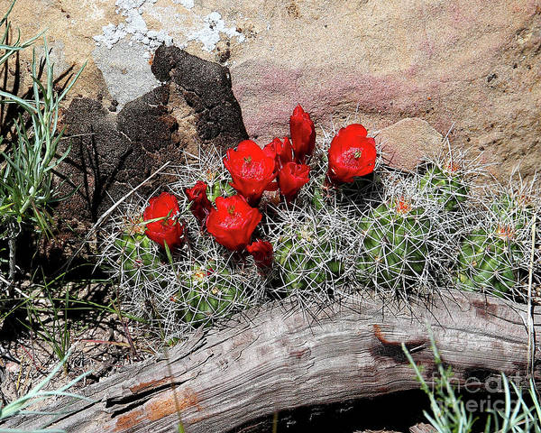 Succulent Art Print featuring the photograph Claret Cup Cactus And Sandstone by Malcolm Howard