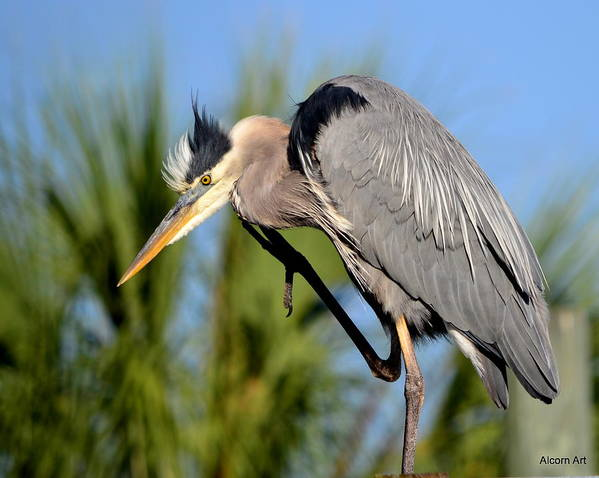 Blue Heron Art Print featuring the photograph Cleaning Up by Brenda Alcorn