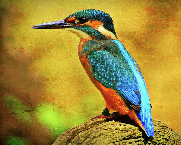 Alcedines Art Print featuring the photograph Colorful Kingfisher by Roy Pedersen