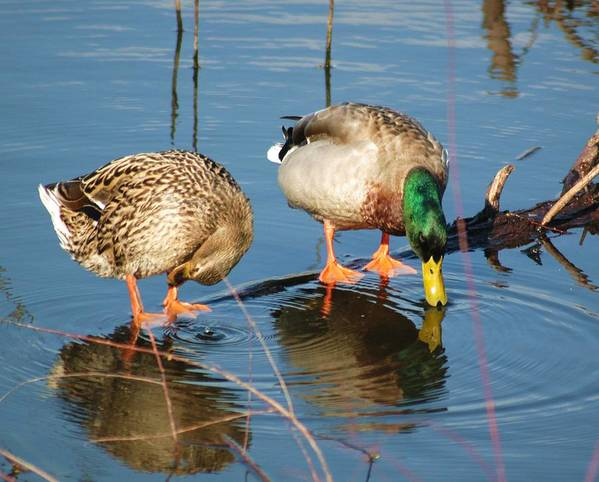 Ducks Art Print featuring the photograph Date For Drinks by Bob Guthridge